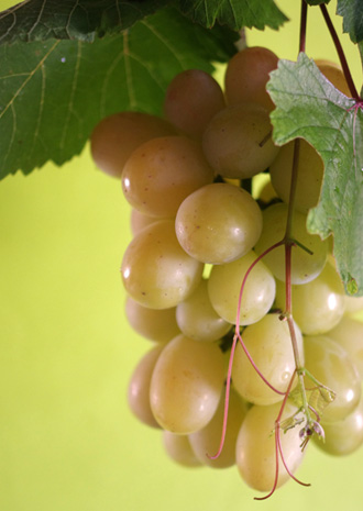 Delicious grape of Okayama Japan